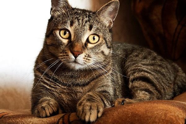 gatto adulto tigrato