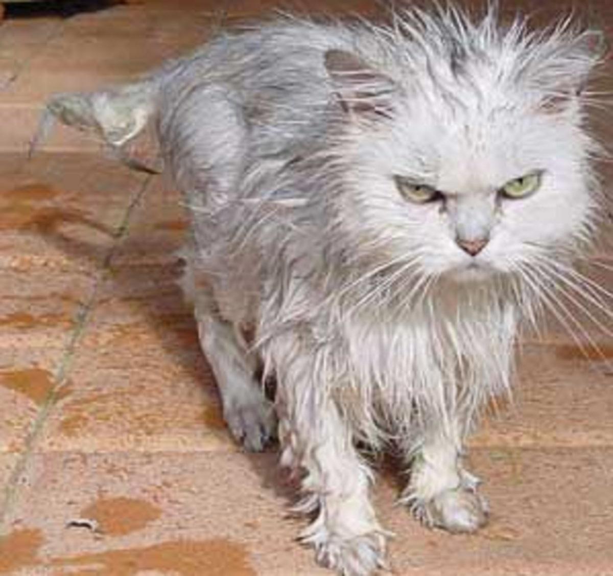 gattino bagnato