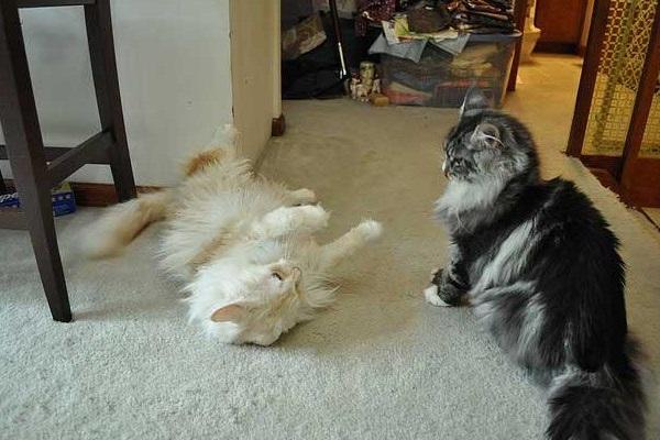 gatti che interagiscono in casa