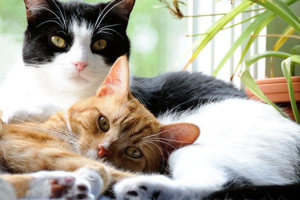 convivenza tra due gatti in casa