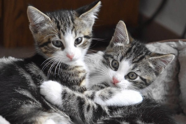 gattini grigi tigrati