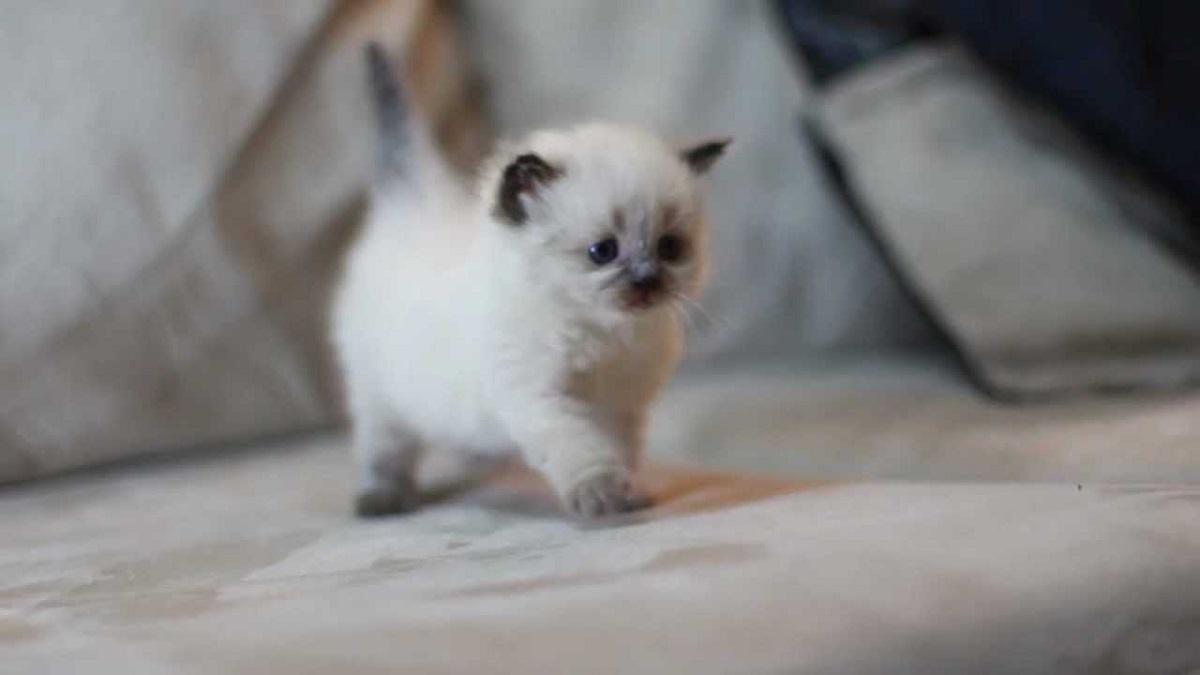 gattino himalayano bianco