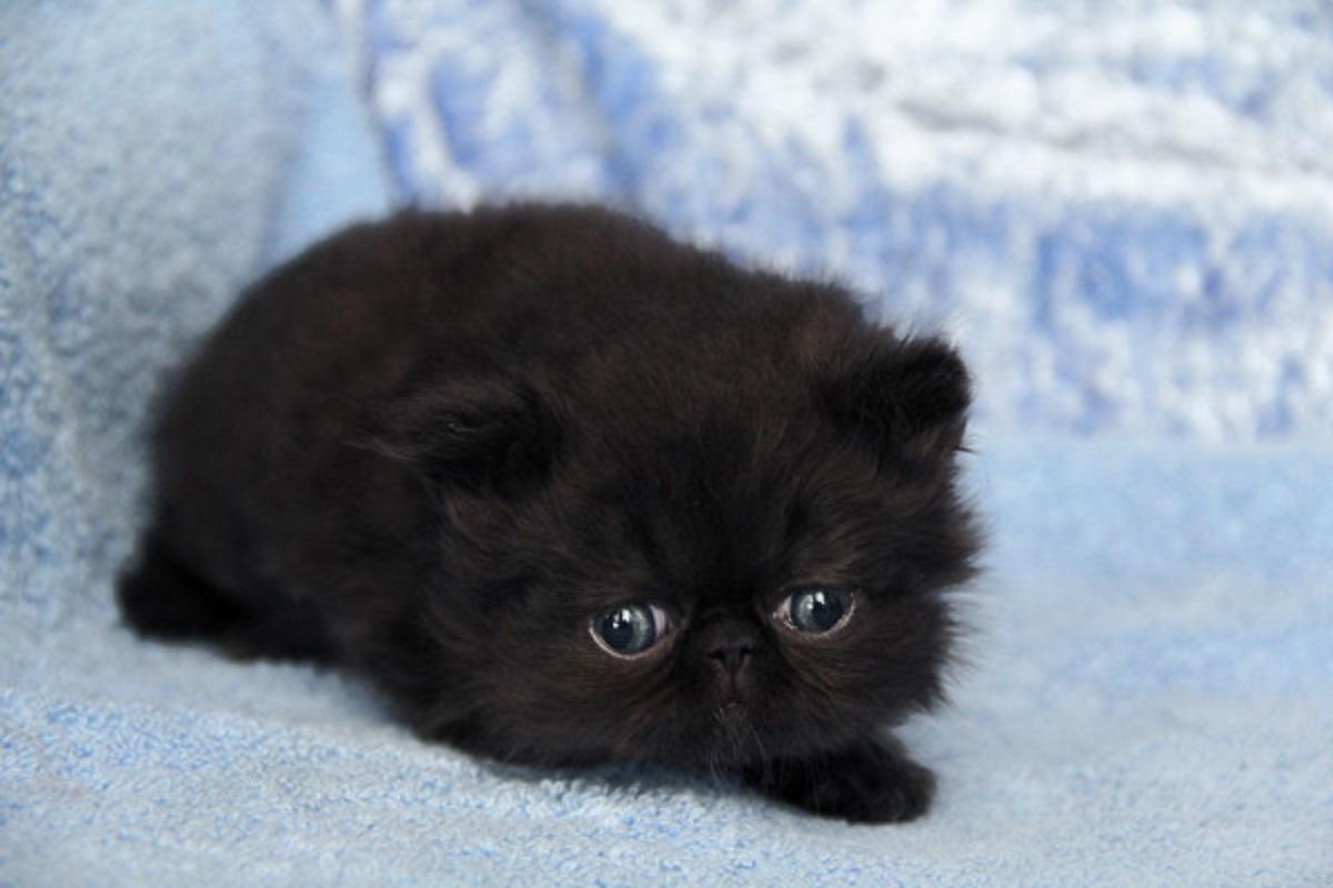 gattino himalayano nero