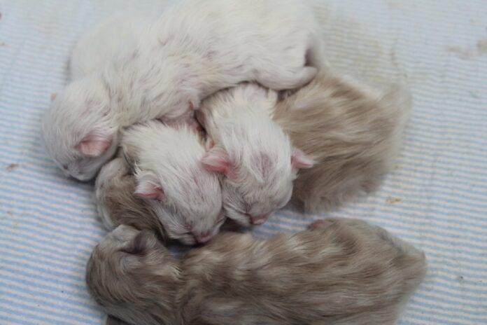 gattini himalayani appena nati