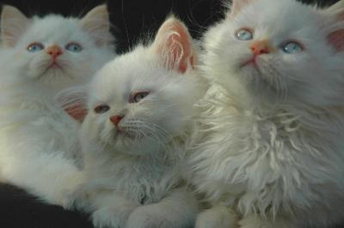gattini himalayani bianchi