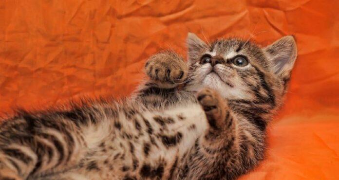 gattino sfondo arancione