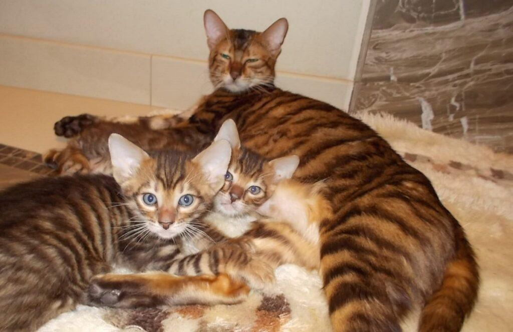gattini toyger giocano