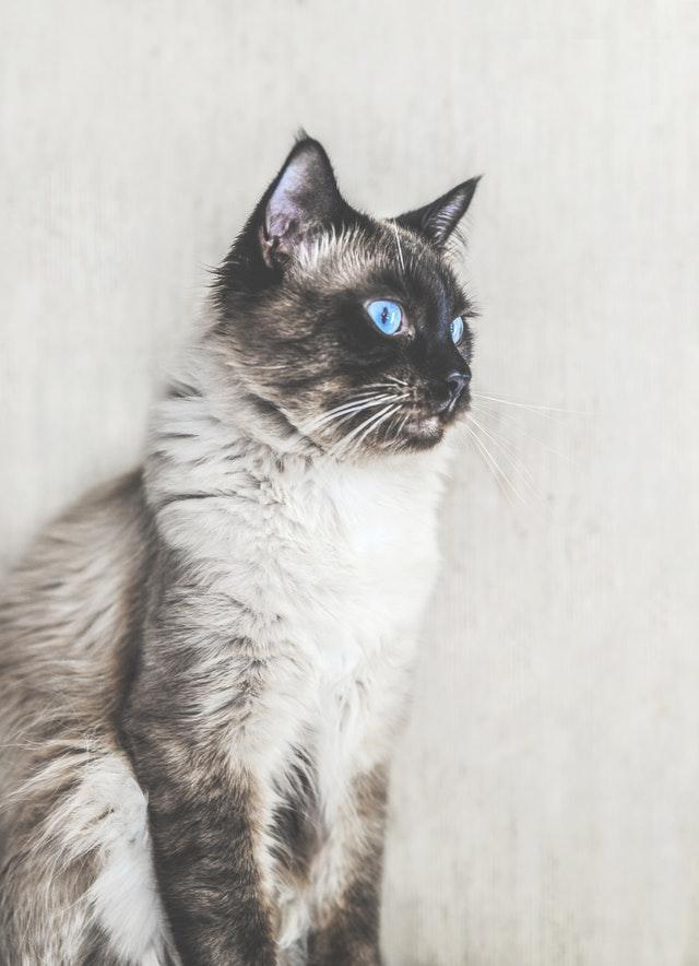 gatti-albini
