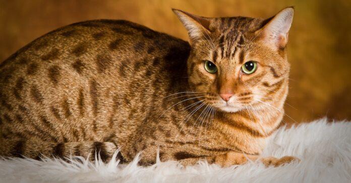 gatto maculato