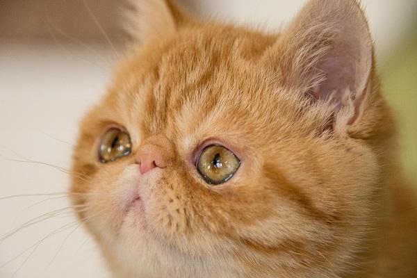 Exotic shorthair gatto