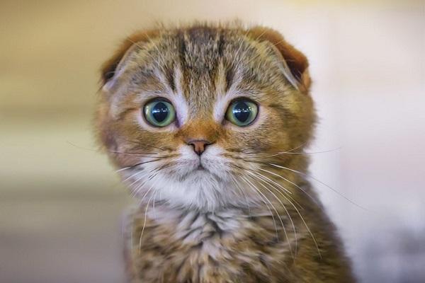 gatto con orecchie piegate