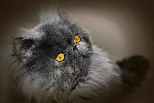 gatto con occhi gialli