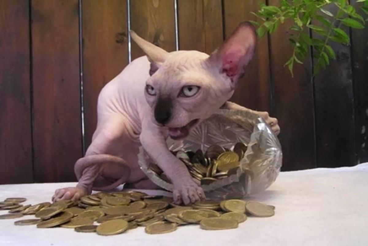 gatto sphynx con monete