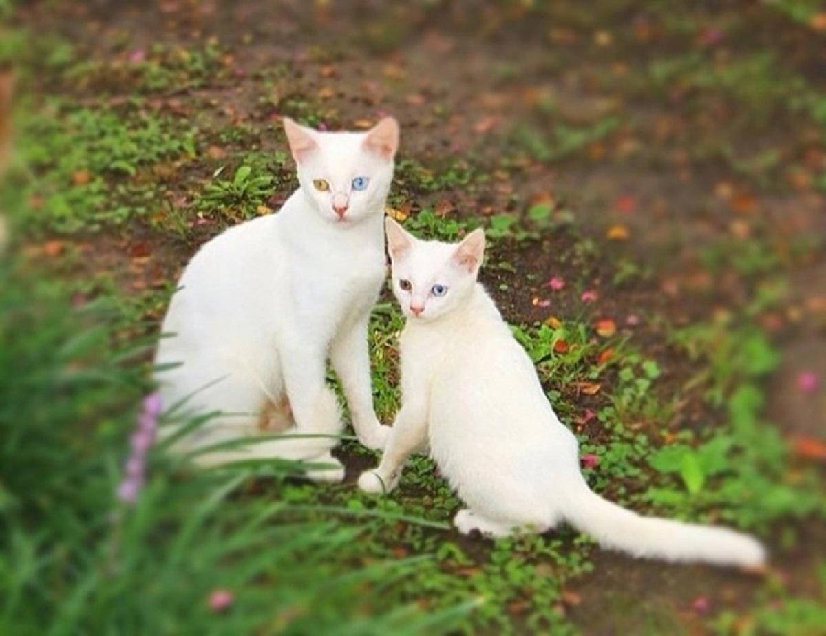 gatti bianchi identici
