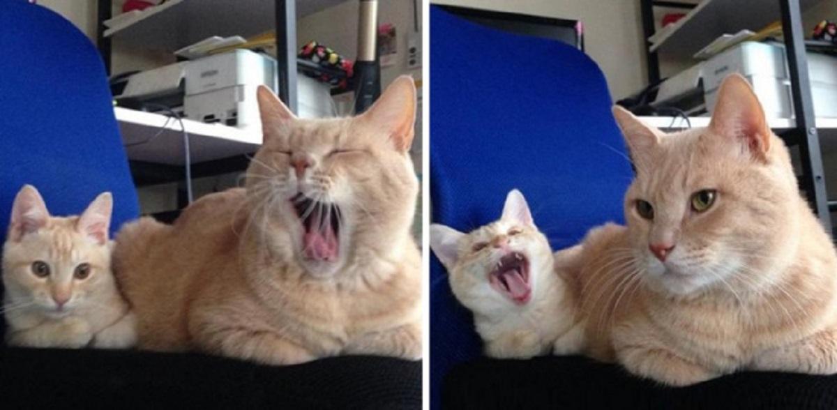 sbadiglio da gatta a gattino