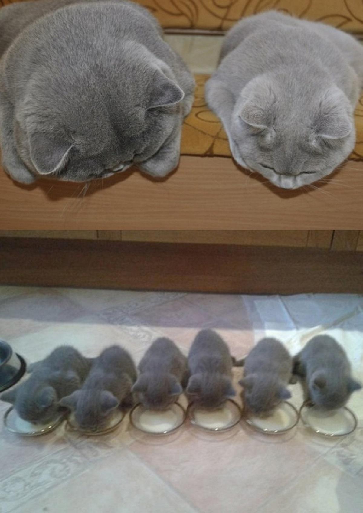 gatti adulti guardano i loro cuccioli