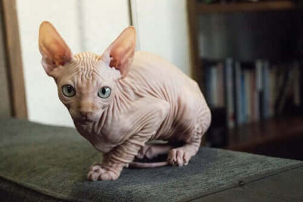 kohona gatto hawaiiano nudo