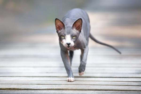 donskoy gatto senza pelo