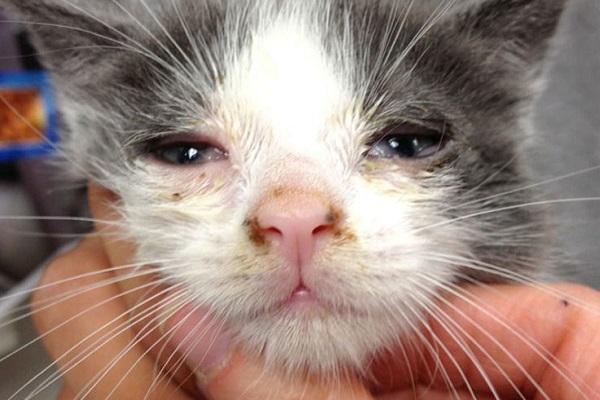 gattino con infezione agli occhi