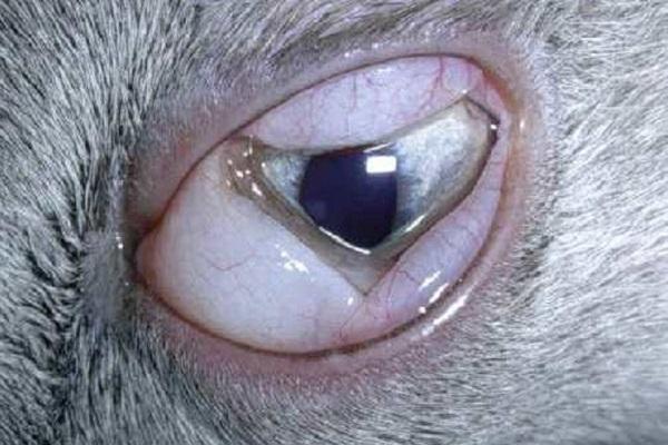 gatto con congiuntivite