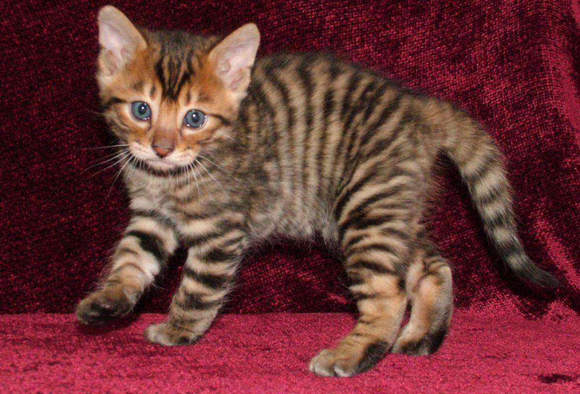 gattino toyger piccolo