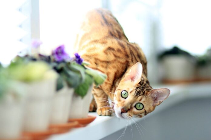 gatto-bengala-alimentazione-ideale