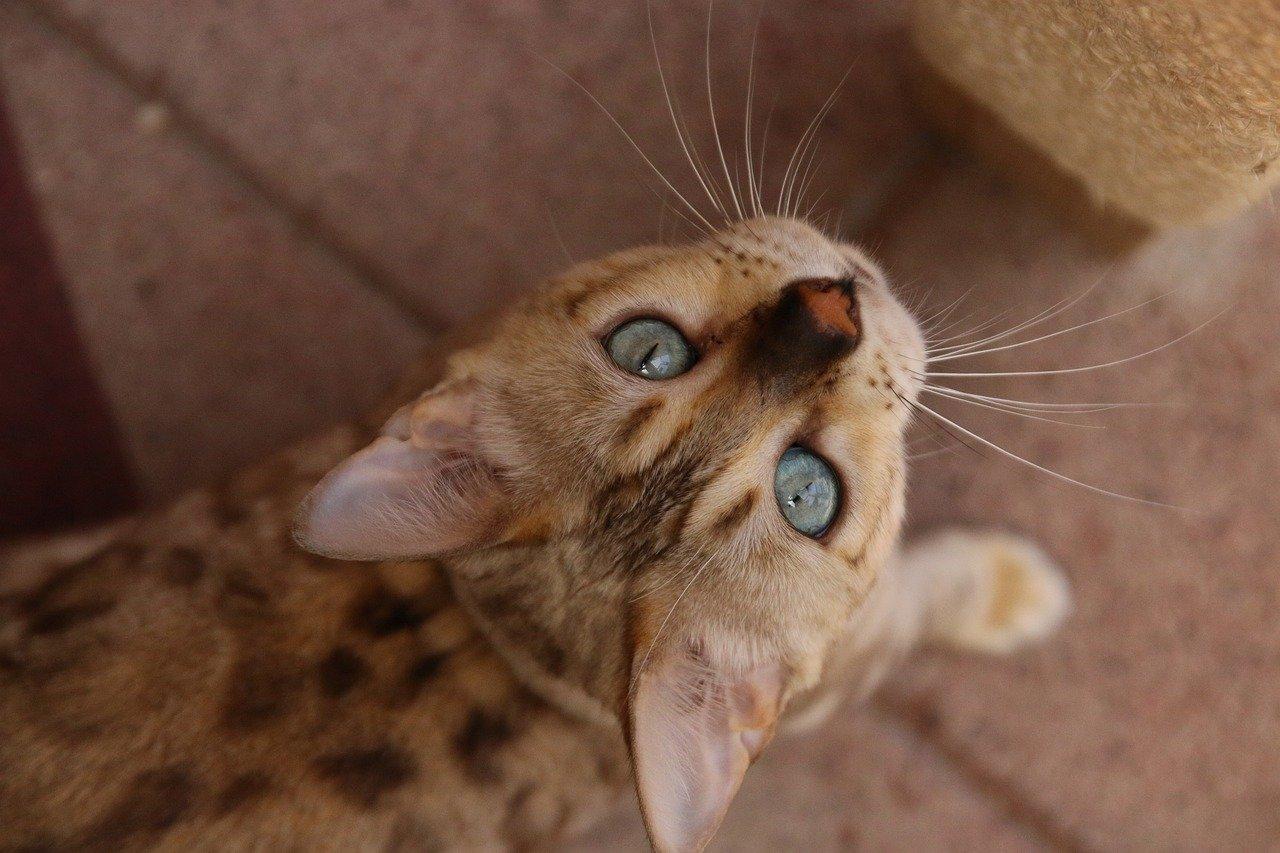 gatto-bengala-cibo