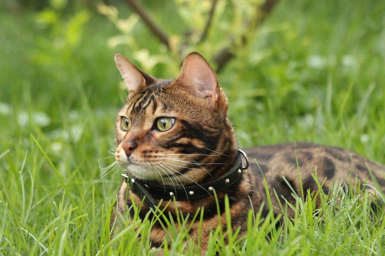gatto-bengala