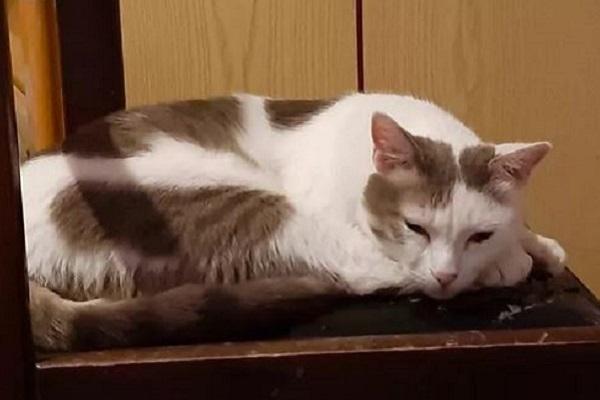 gatto bianco e grigio che riposa
