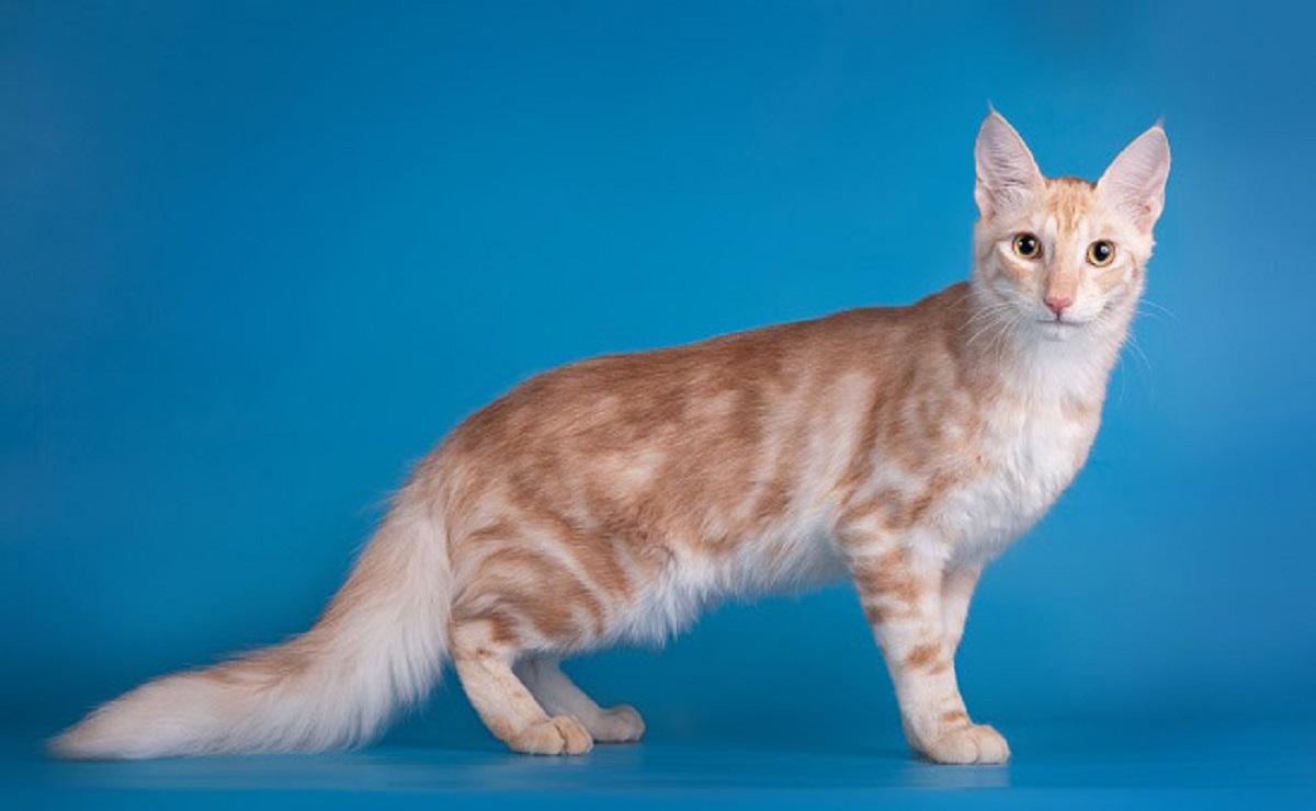 gatto d'angora sfondo azzurro