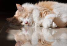 gatto d'angora per terra