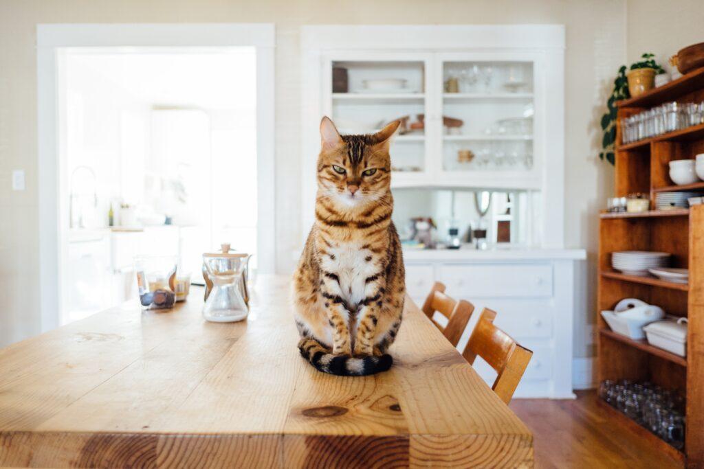 gatto- femmina