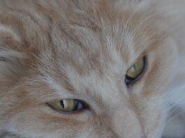 gatto-norvegese-tutti-colori