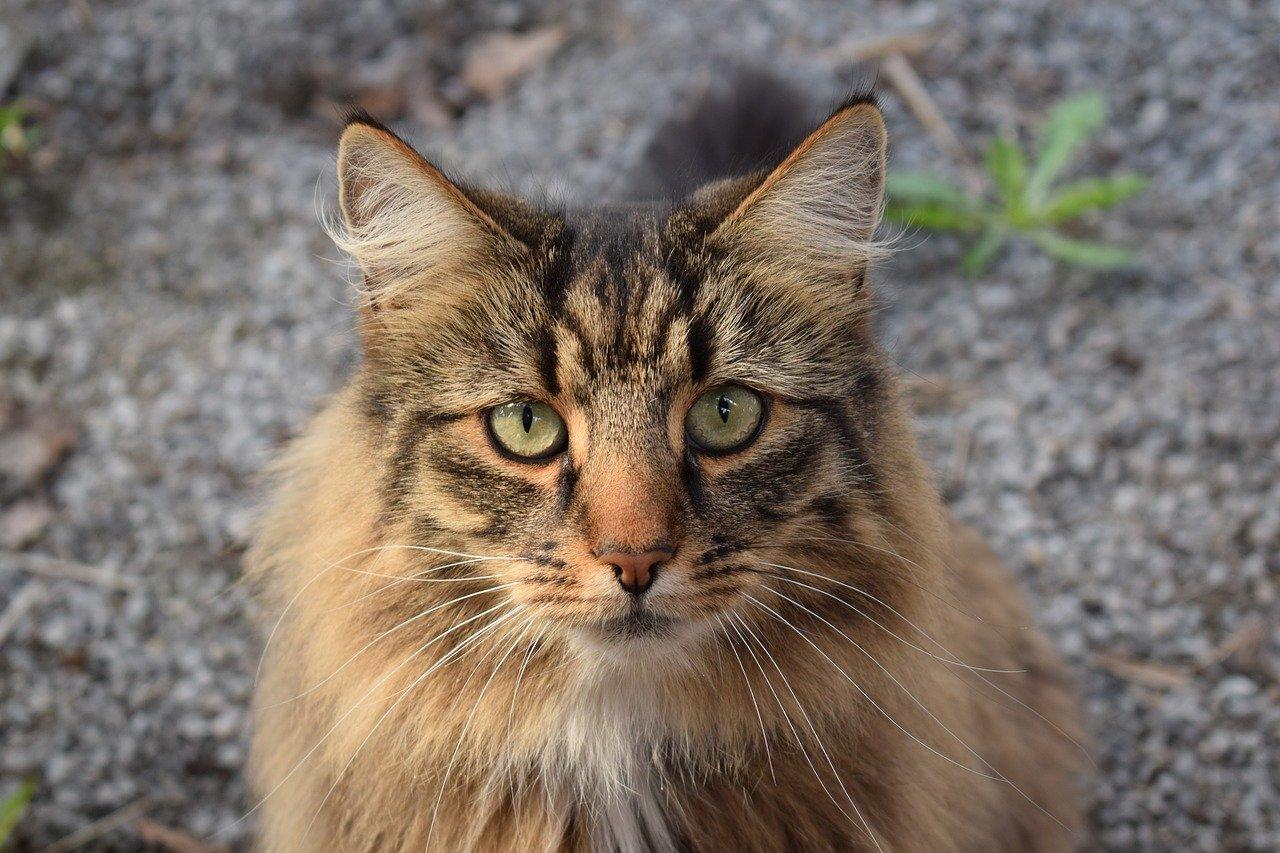 gatto-norvegese-fusa