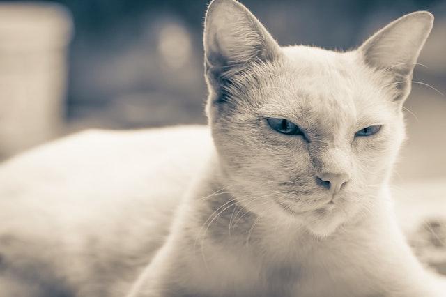 gatto-occhi-blu