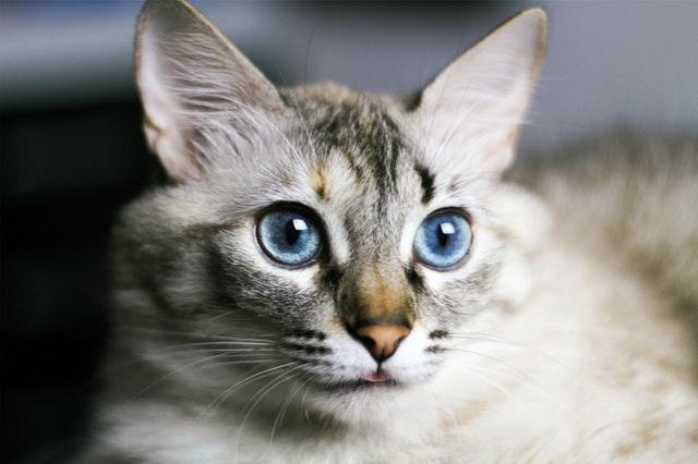 gatto-occhi-celesti