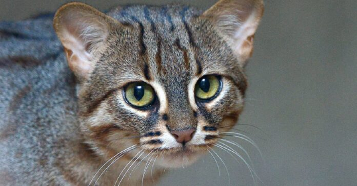 prionailurus rubiginosus gatto