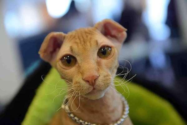 levkoy gatto senza pelo