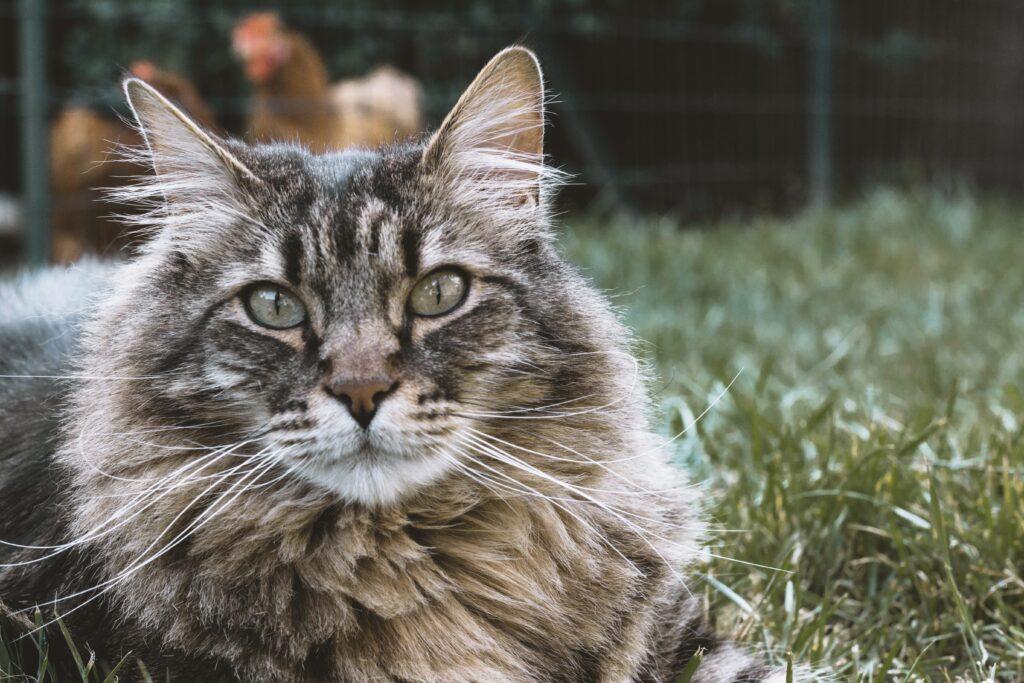 gatto-siberiano-cosa-mangia