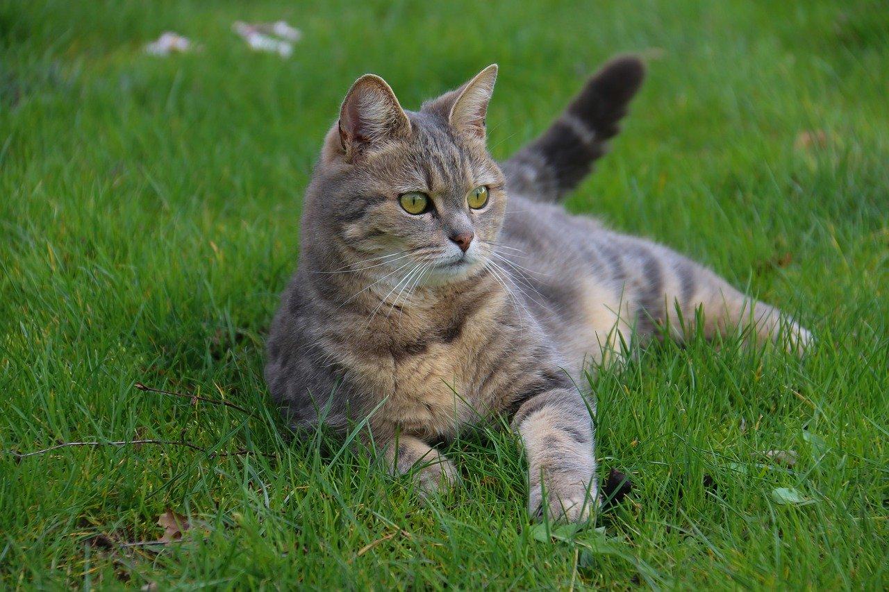 gatto soriano grigio all aperto