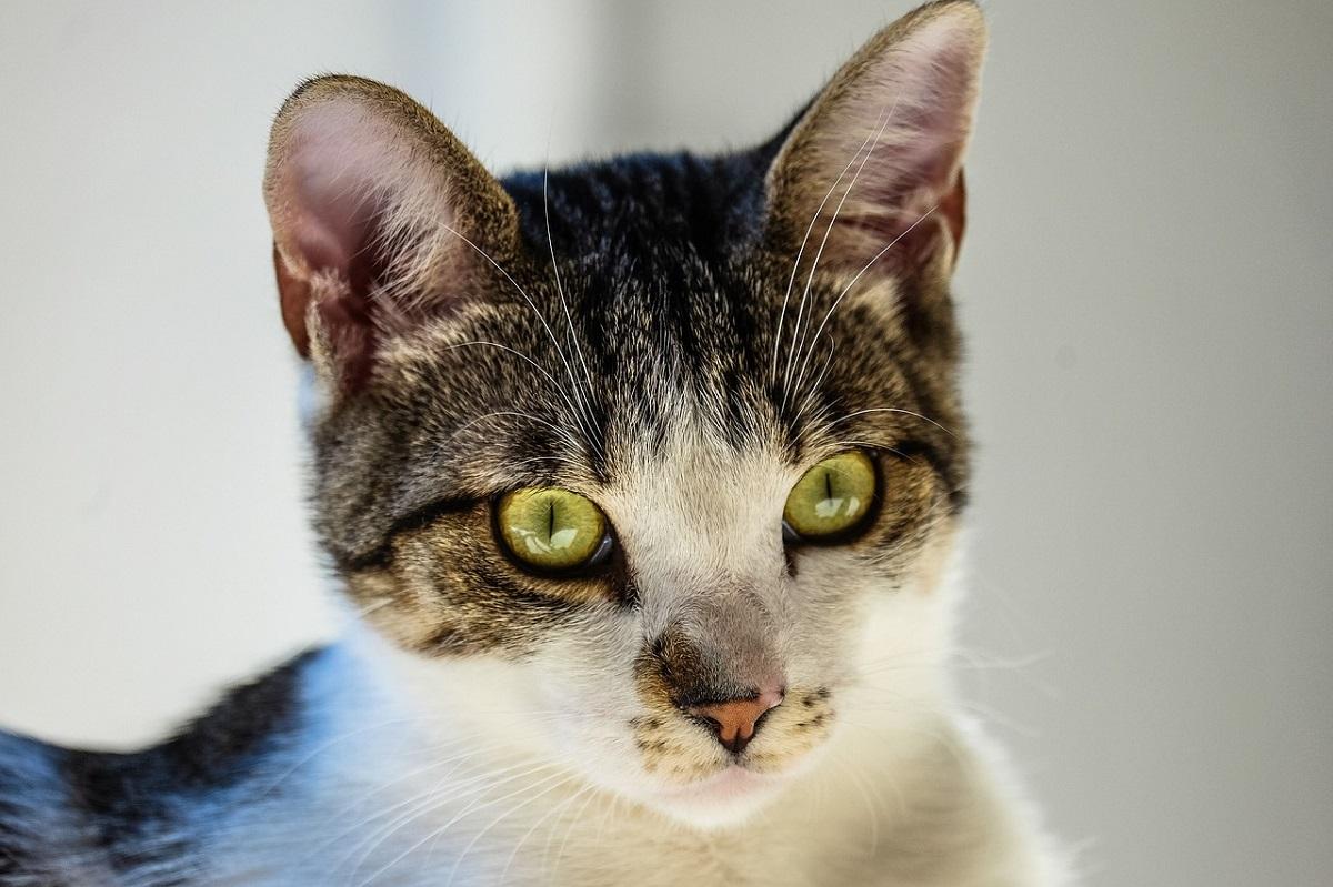 gatto soriano in primo piano