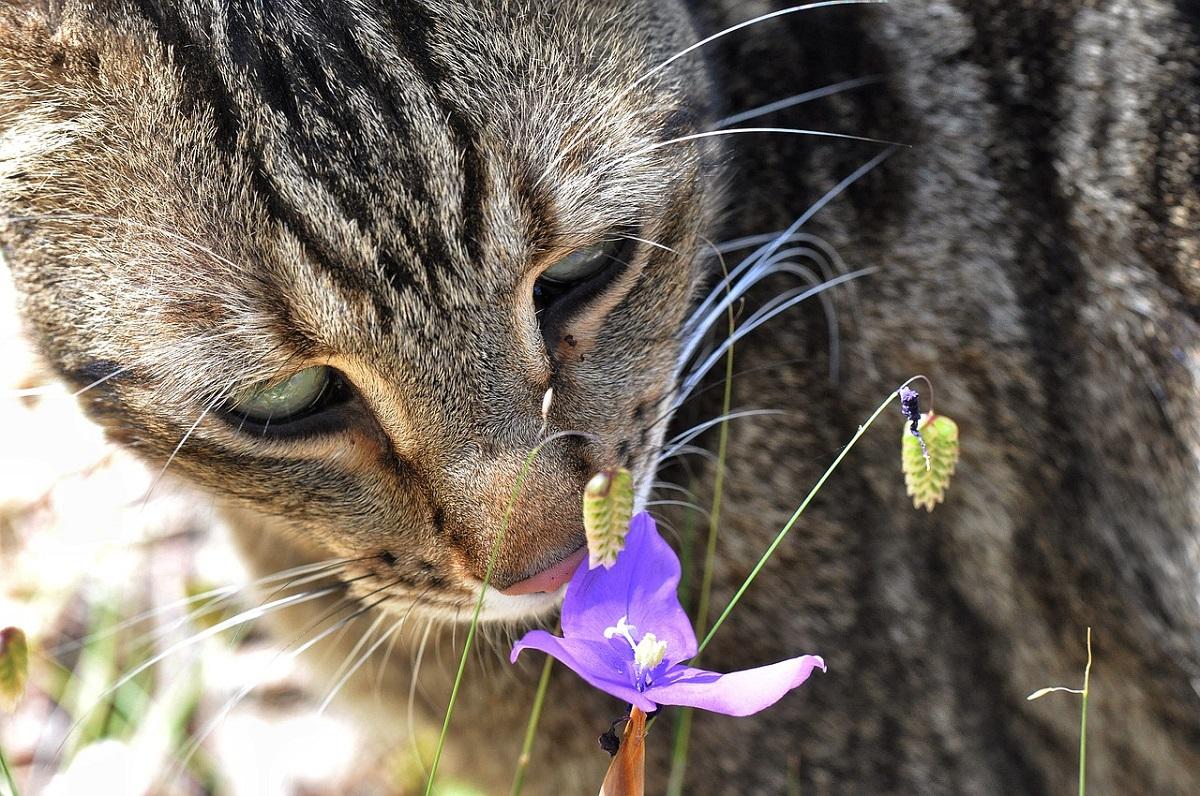 gatto soriano annusa fiore