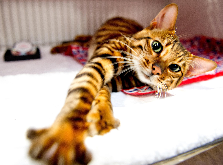 gatto toyger bellissimo