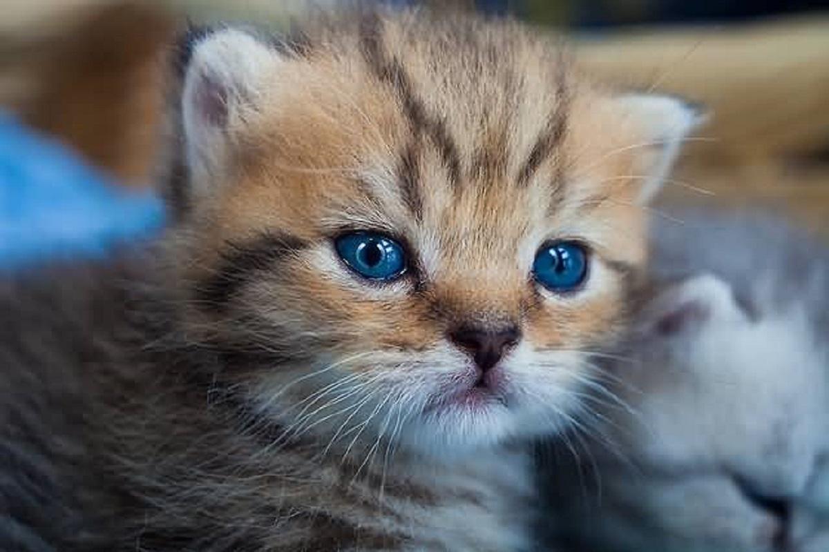 primo piano gattino toyger