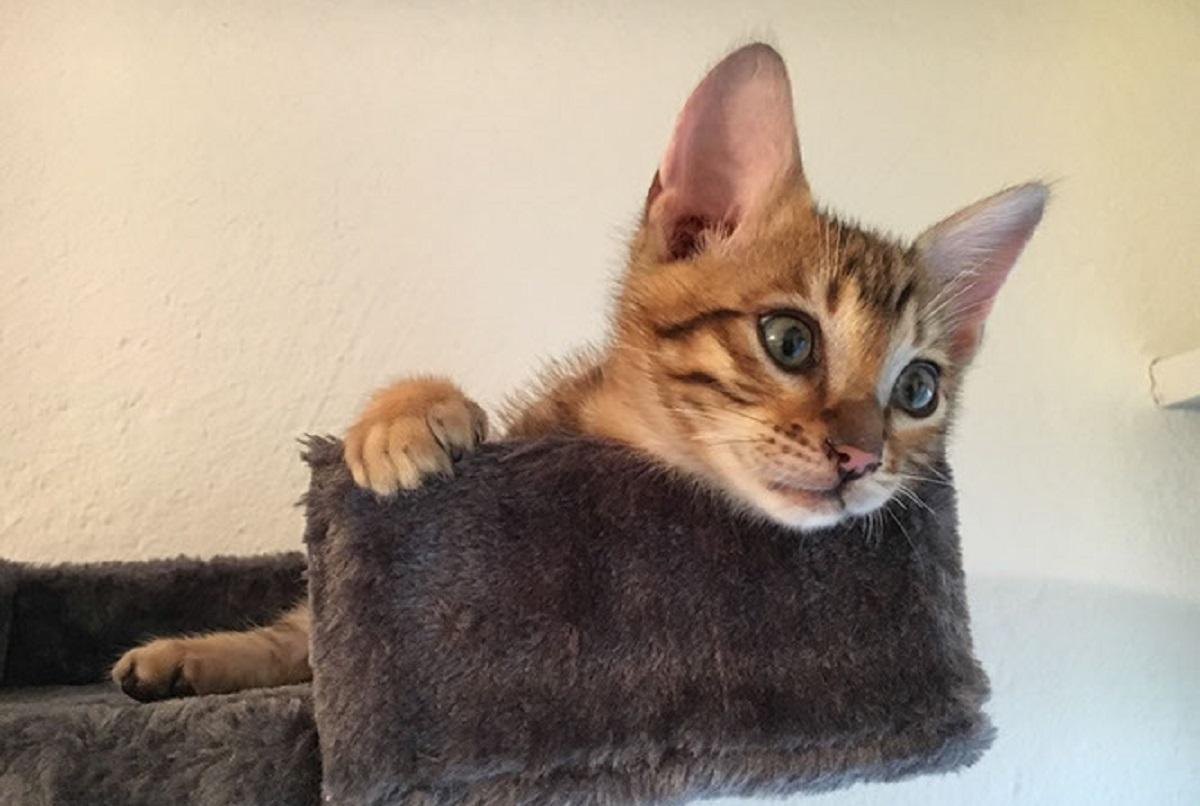 gattino toyger