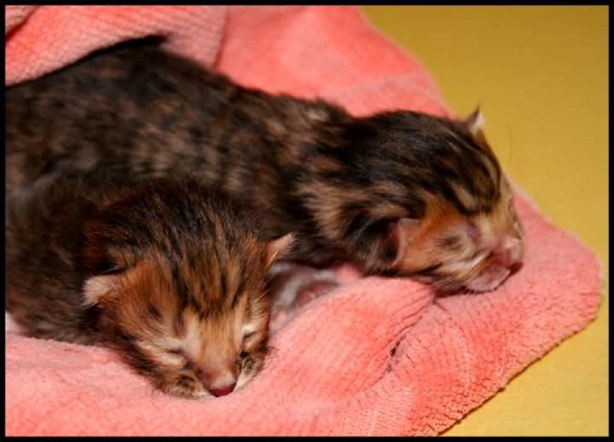 gattini toyger appena nati