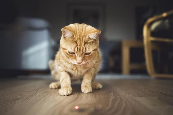 gatto che insegue luce rossa