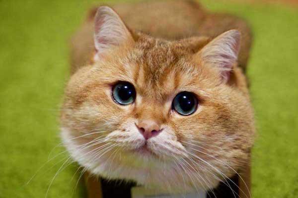 gatto curioso con occhi dolci
