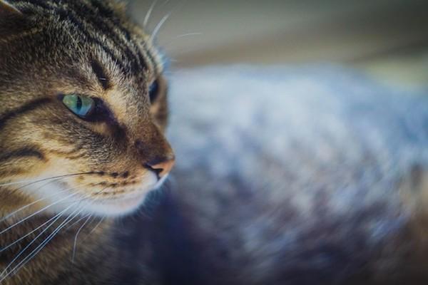 gatto che osserva laser