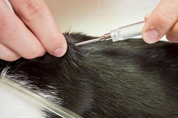 inserimento microchip gatto